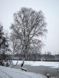桦树在冬天 免版税库存图片