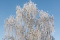 桦树在冬天 免版税图库摄影
