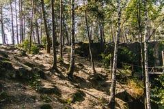 桦树在夏天森林里 免版税库存照片
