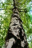 桦树在夏天 免版税库存照片