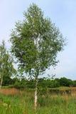 桦树在夏天 库存照片