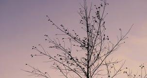 桦树在天空的背景的秋天 股票视频