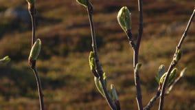 桦树在寒带草原在春天 股票视频