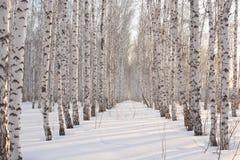 桦树在日落的冬天 库存照片