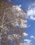 桦树在春天在一个晴天 库存照片