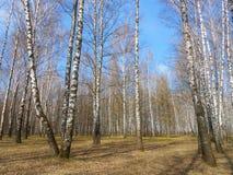 桦树在春天增长 免版税库存照片