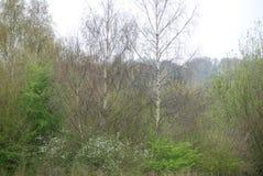 桦树在春天,年的开始 免版税库存图片