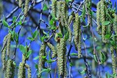 桦树在春天 库存图片