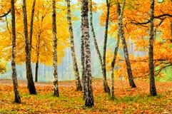 桦树在秋天公园 库存照片