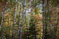 桦树在秋天森林里 库存照片