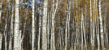 桦树在秋天的森林词根 免版税库存照片
