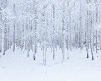 桦树在雪盖的木头森林 库存照片