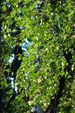 桦树在风的叶子振翼 免版税库存图片
