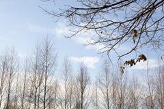 年轻桦树在11月 免版税图库摄影