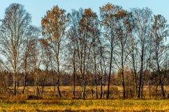 桦树墙壁  免版税库存照片