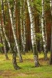 桦树夏天木头 库存照片