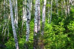 桦树夏天森林 库存图片