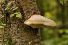 桦树多孔菌 图库摄影
