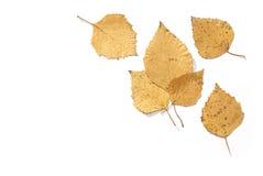 桦树干燥叶子 免版税库存照片