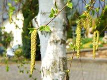 桦树开花 库存图片