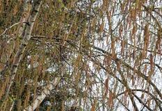 桦树开花 库存照片