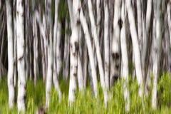 桦树或震动白杨 免版税库存照片