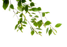 桦树新分行与芽和叶子的 库存照片