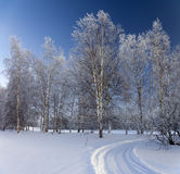 桦树日冷淡的树丛 免版税图库摄影