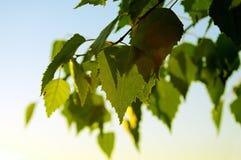 桦树早午餐。 库存图片