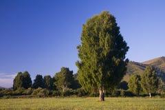 桦树早期的更加了不起的早晨 图库摄影