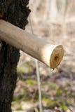 桦树早期的树汁春天 库存图片
