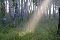 桦树早期的森林早晨 免版税库存图片
