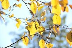 桦树明亮的黄色秋叶在阳光下的 秋天季节性背景 库存照片