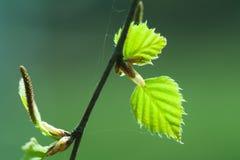 桦树春天叶子 免版税库存图片