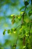 桦树春天枝杈 免版税库存照片