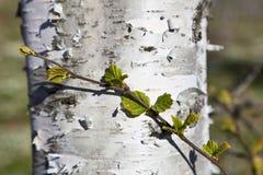桦树春天结构树 免版税库存图片