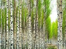 桦树春天结构树 库存照片