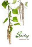 桦树春天 免版税库存照片