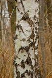 桦树木头树 免版税库存照片