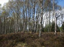 桦树木头 免版税库存图片