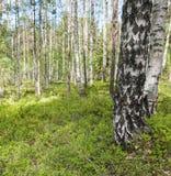 桦树木头 图库摄影