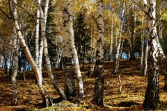 桦树木头 库存图片