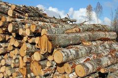 桦树木材 免版税库存照片