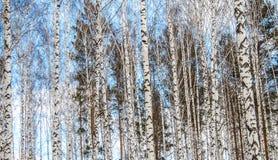 桦树木头在冬天 免版税库存图片