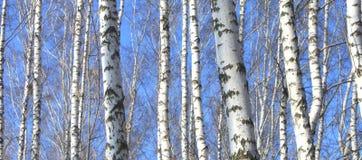 桦树木头在反对蓝天的春天 库存图片