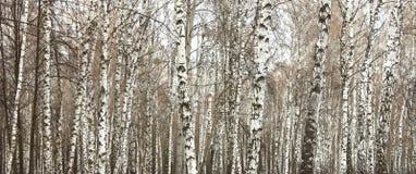 桦树木头在夏天 库存图片
