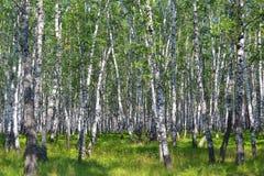 桦树木头在夏天 免版税库存照片