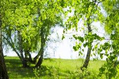 桦树木头在5月 免版税库存图片
