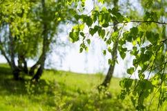 桦树木头在5月 免版税图库摄影