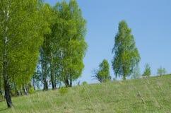桦树木头在5月 库存照片